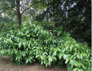 21b glossy bush